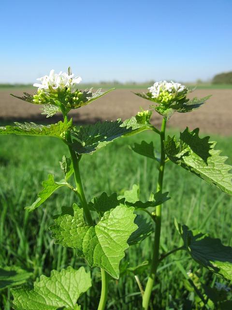 knoblauchranke, heilpflanze, küchenkraut