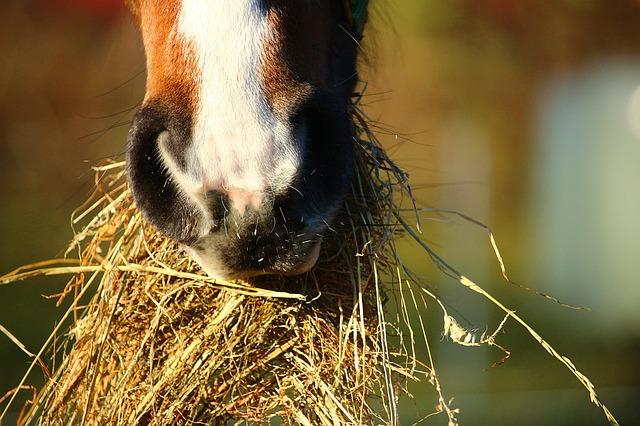 Heublumen, Pferd, Tierfutter, Naturmedizin