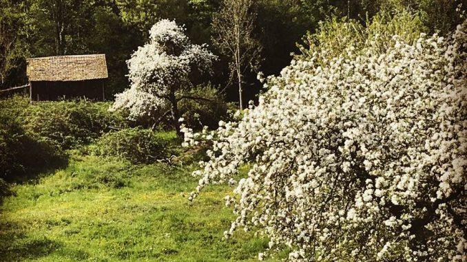 Kirschblüten im Fricktal