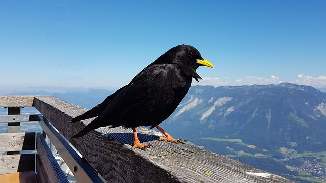 Alpendohle, Bergdohle